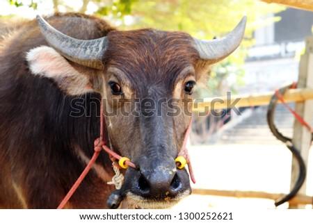 buffalo in Thailand #1300252621