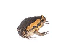 Bullfrog on a white background.