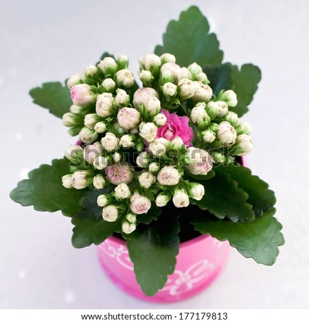 bunch of flowers. Kalanchoe blossfeldiana. posy of kalanchoe.  a gift of flowers. gift on the eighth of March. gift on a Valentine`s day.