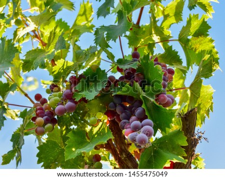 Bunch of grapes fruit background  #1455475049
