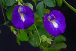 Butterfly pea flowers are bluish-purple and can be used as food and herbs.(Clitoria mariana)