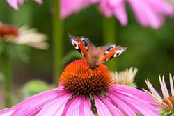 Butterfly pollen Beautiful Pink Cone Flowers  (Echinacea purpurea) close up photography colorful bloor background. Macro photo deep DOF- image