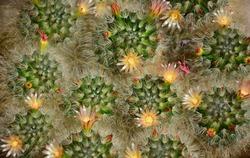 Cactus thorns, Close up thorns of cactus, Cactus Background