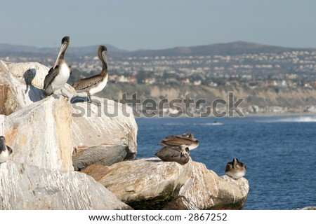 """california brown pelicans"" ""Pelecanus occidentalis "" sun themselfs on rocks on a jetty in Southern Californias Dana Point harbor"