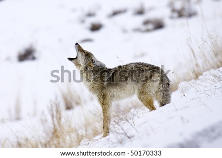 """Call of the Coyote"" - Its mating season for coyotes in Yellowstone National Park and this coyote is howling for a mate."