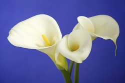 Calla Lily Flowers shot in the studio on a blue background