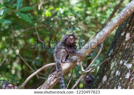 3 Callithrix penicillata (Sagui / Marmoset ) Brazil Native