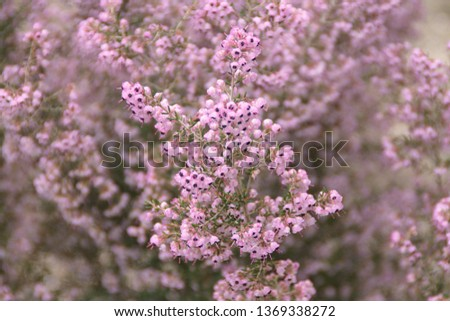 Calluna Vulgaris, common heather, ling, heather with pink flowers #1369338272