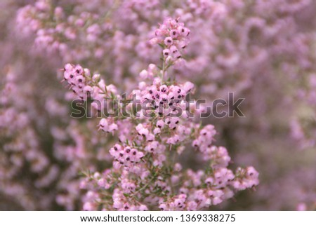 Calluna Vulgaris, common heather, ling, heather with pink flowers #1369338275