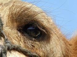 camel closeup body part   animal