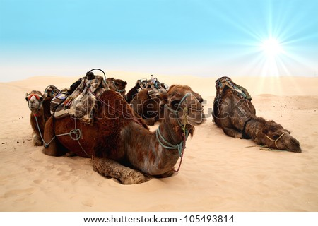 4 camels in sahara desert and blue sky
