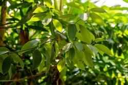 Camphor or Cinnamomum camphora on natural background.