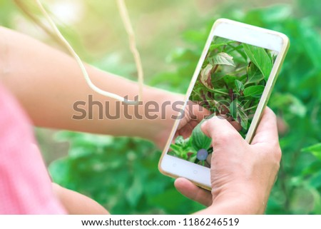 """Capture"" Science & Technology Concept. Asian Gardener found a Fungus wound & infected of Holy Basil Leaves. A young farmer are taking photography to searching a Symptom & Cure for gardens plan."