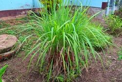 ํcapture the whole clump of lemon grass planted in the garden, it can be use for food ingradient, as a herb for healthy and very useful in many way.