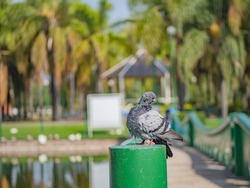 carrier pigeon with bokeh effect in park