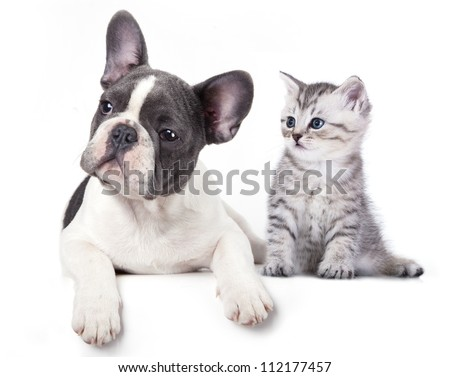 Cat and dog, British kitten and  French Bulldog puppy - stock photo