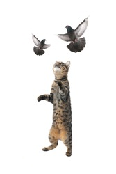 cat and  pigeon in flight on a white background