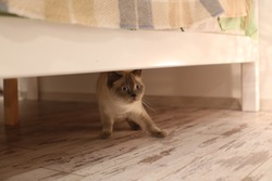 Cat (british blue-point) hiding under the bed
