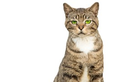 Cat or kitten with green eyes. Meme good for social networks or advertising. Cat with sad face. Isolated white background with copy space.
