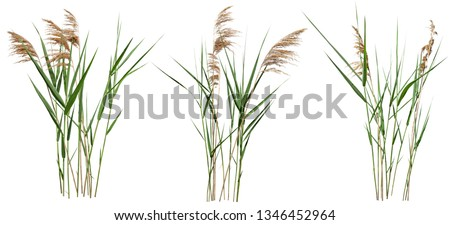 Cattail and reed plant isolated on white background. Wild grass