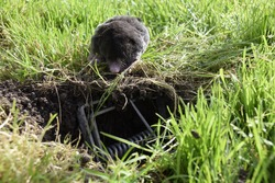 Caught mole with mole trap on the pasture