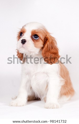 Cavalier King Charles spaniel looking for something