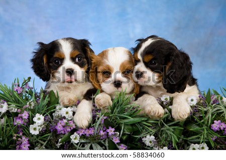stock photo : 3 Cavalier King Charles Spaniel puppies with flowers and blue