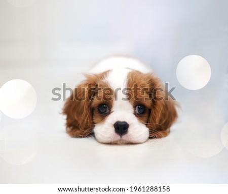 Cavalier King Charles Spaniel Puppy                     Photo stock ©