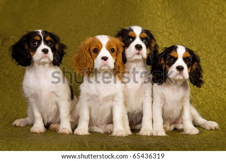 4 Cavalier puppies on green background - stock photo