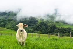 Cebu cow in a green pasture. Forest and mist in the background