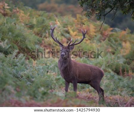 Cervus elaphus, Red deer stag. #1425794930