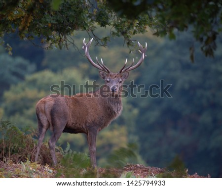 Cervus elaphus, Red deer stag. #1425794933