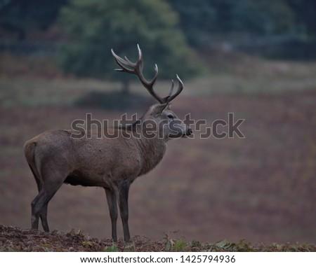 Cervus elaphus, Red deer stag. #1425794936