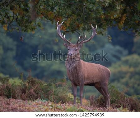 Cervus elaphus, Red deer stag. #1425794939