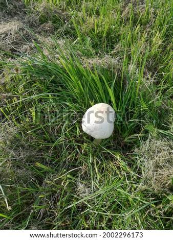 Champignon mushroom in green grass.
