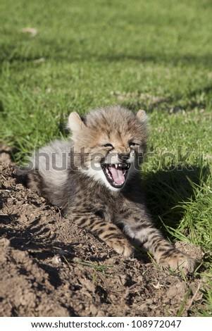 'Cheetah cubs' cheeky roar'