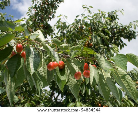 Cherries on a tree in the orchard