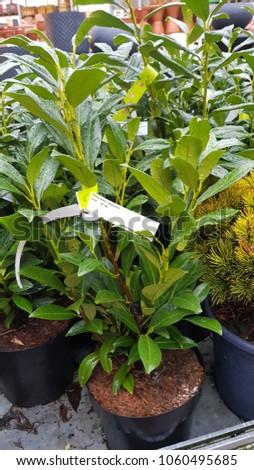 cherry laurel Plant #1060495685