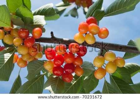 Cherry on the Tree - stock photo