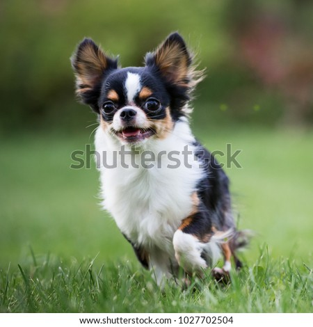 chihuahua dog running on the green grass #1027702504