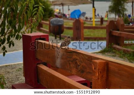 Chincol, bird on the beach, chile bio bio region #1551912890