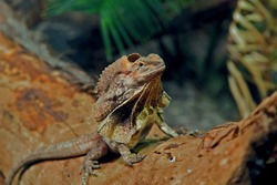 (Chlamydosaurus kingii) australian frilled lizard also known as the frilled dragon, is found mainly in northern Australia and southern New Guinea. Its name comes from the large frill around its neck.
