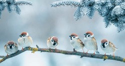 Christmas card with lots of cute little birds, the sparrows sitting in the winter garden under fir branch under snow