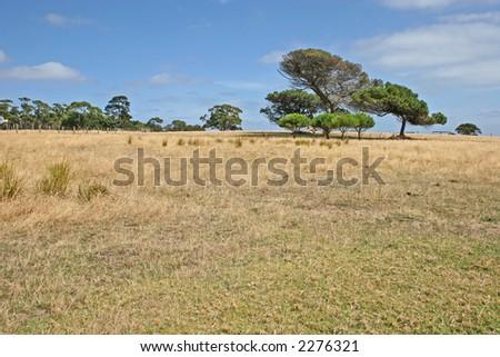 青空および黄� ��いフィール� �(Churchill の島、ビクト� ��ア、オース� �ラリア) に対する木だ� �� - stock photo