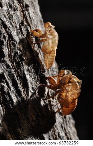 2 Cicada (Hemiptera: Cicadidae) moult hanging from a tree