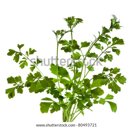 cilantro coriander herb  isolated on white