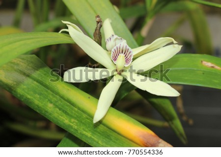 """""""Clamshell Orchid"""" flower (or Cockleshell Orchid, Fragrant Anacheilium Orchid, Fragrant Prosthechea Orchid) in St. Gallen, Switzerland. Its Latin name is Prosthechea Fragrans (Syn Epidendrum Lineatum)"""