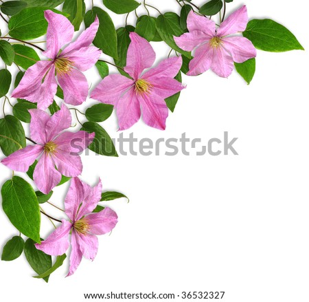 clematis_corner composition, white background