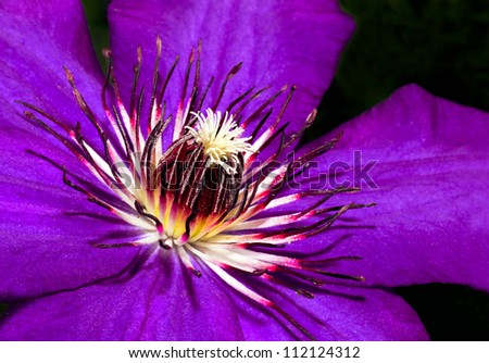 Clematis flower blossom lilac in summer at the end of July.