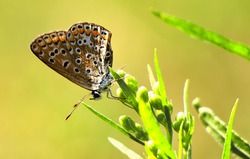 Close-up Aricia Agestis butterfly on a wildflower